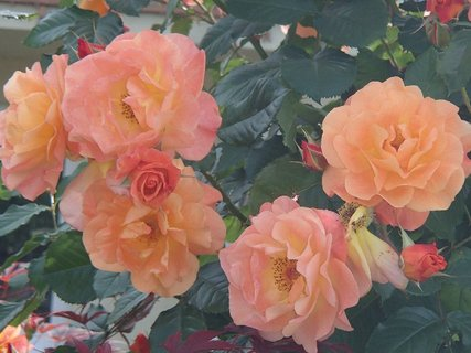 FOTKA - oranžové kríkové ruže
