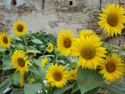 FOTKA - 9.8 + 10.8 - 4 - kouzlo slunečnic