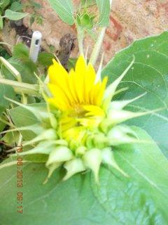 FOTKA - 9.8 + 10.8 - 9 - na půlku otevřený květ