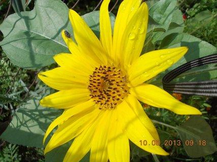FOTKA - 9.8 + 10.8 - 12 - po dešti kapky a moucha na květu