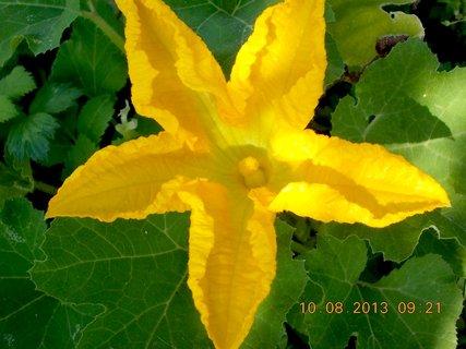 FOTKA - 9.8 + 10.8 - 21 - květ dýně