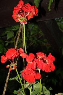 FOTKA - červený muškát v závěsu