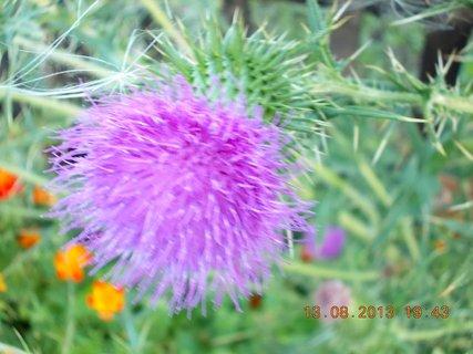 FOTKA - 13. srpna - 4 - květ na bodláčí