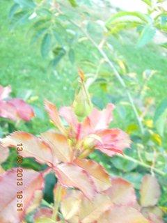 FOTKA - 13. srpna - 18 - mladé listy a poupě na růži