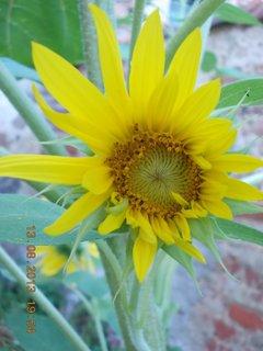 FOTKA - 13. srpna - 23 - jsem divně narostlá slunečnice