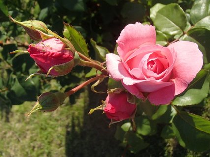 FOTKA - 17.8.2013 ešte bude kvitnúť
