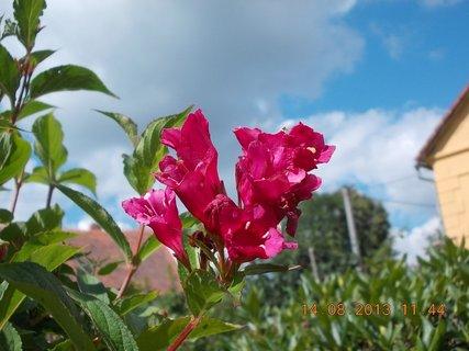 FOTKA - 14.8 + 15.8. - 7 - pohled na nebe přes květy Wiegely
