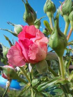 FOTKA - 14.8 + 15.8. - 20 - růžová krása
