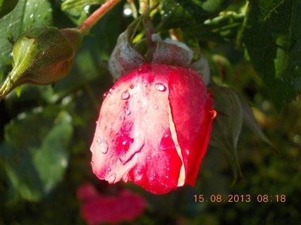 FOTKA - 14.8 + 15.8. - 21 - růžová krása