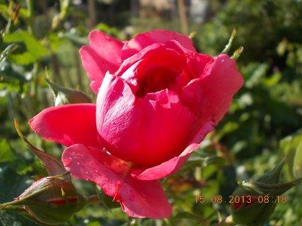 FOTKA - 14.8 + 15.8. - 22 - růžová krása