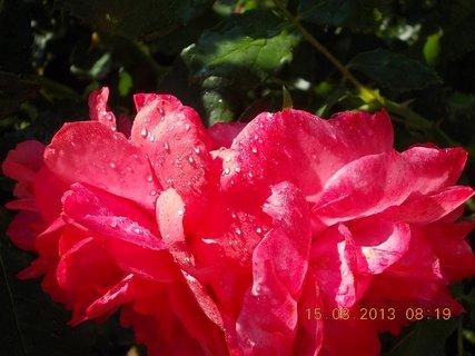 FOTKA - 14.8 + 15.8. - 23 - růžová krása