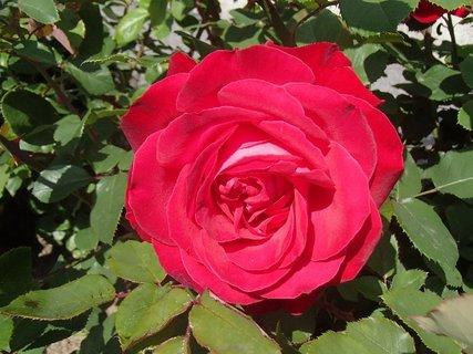 FOTKA - ruža pred domom