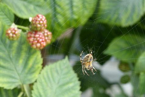 FOTKA - pavoucek hlida u ostruzin