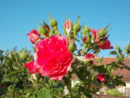 FOTKA -  18.8. - 2 - pohled na nebe přes růže