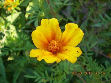 FOTKA -  18.8. - 7 - květ Afrikánu je jako kalíšek