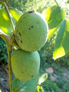 FOTKA -  18.8. - 12 - ořechy budou veliký letos