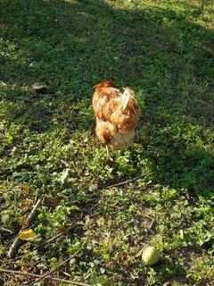 FOTKA -  18.8. - 14 - slepička cupitá přede mnou na zahradě