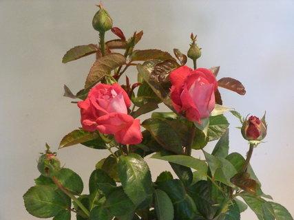 FOTKA - Výstava růží .......
