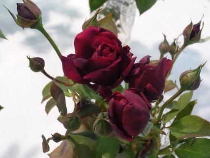 FOTKA - Výstava růží .........