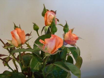 FOTKA - Výstava růží ..........