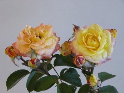 FOTKA - Výstava růží ,