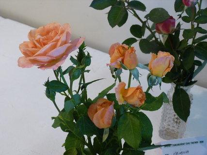 FOTKA - Výstava růží ,,