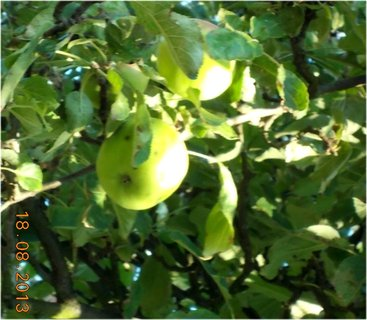 FOTKA - 18. srpna - 1 - jablka