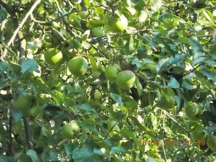 FOTKA - 18. srpna - 4 - na jabloni je pár jalblek