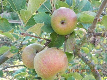 FOTKA - 18. srpna - 6 - tři jablka zimní