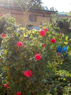 FOTKA - 18. srpna - 7 - růže znovu kvetou