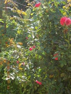 FOTKA - 18. srpna - 8 - růže znovu kvetou