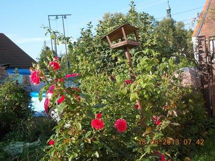 FOTKA - 18. srpna - 9 - růže znovu kvetou