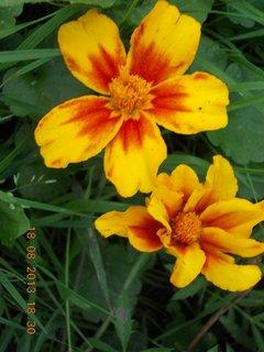 FOTKA - 18. srpna - 25 - dva květy Afrikánů