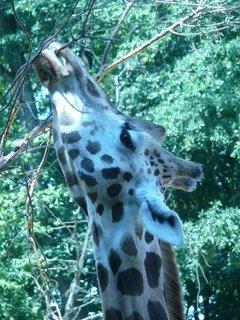 FOTKA - Žirafa ,