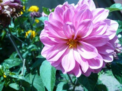 FOTKA - Růžová jiřina
