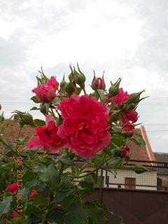 FOTKA - 19.8.+18.8. - 3 - růže s poupaty