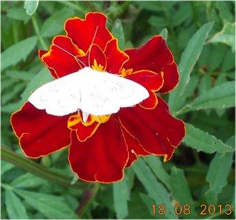 FOTKA - 19.8.+18.8. - 10 - můra na květu
