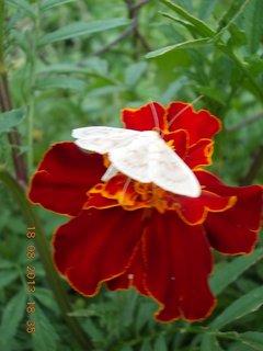 FOTKA - 19.8.+18.8. - 11 - můra na květu