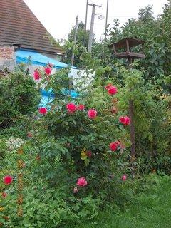 FOTKA - 19.8.+18.8. - 19 - keř růží