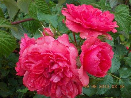 FOTKA - 19.8.+18.8. - 21 - tři květy a jedno poupě