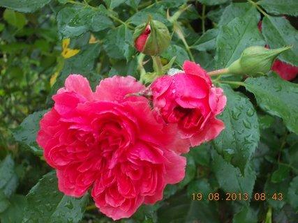 FOTKA - 19.8.+18.8. - 22 - tři květy a dvě poupata