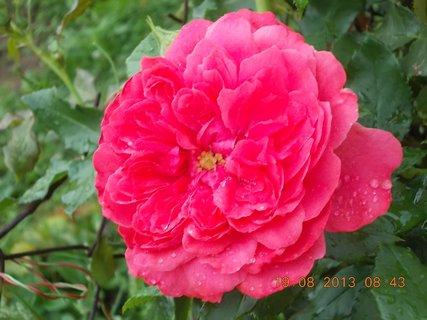 FOTKA - 19.8.+18.8. - 23 - květ růže