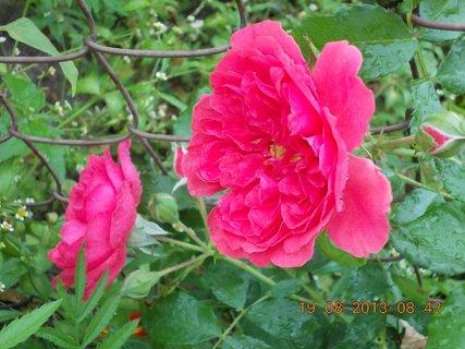FOTKA - 19.8.+18.8. - 24 - květy růží