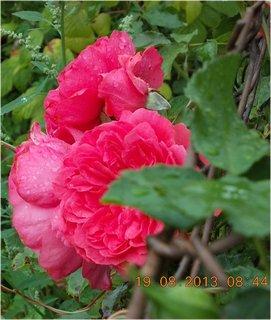 FOTKA - 19.8.+18.8. - 26 -tři květy růží