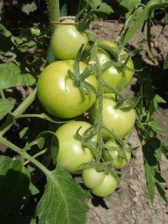 FOTKA - ešte zelené paradajky