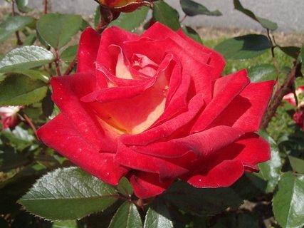 FOTKA - ružička červená