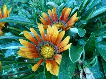 FOTKA - Oranžové květy