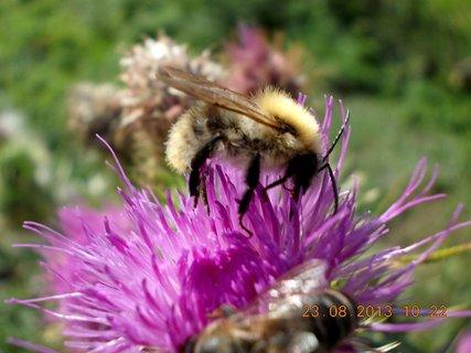 FOTKA - 23.8. - 4 - včelička na bodláčí