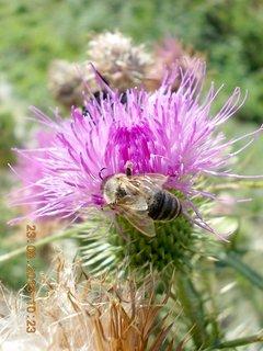 FOTKA - 23.8. - 8 - včelička na bodláčí