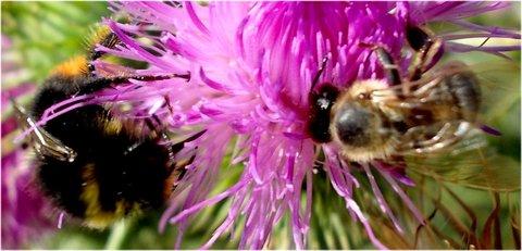 FOTKA - 23.8. - 9 - včelička na bodláčí